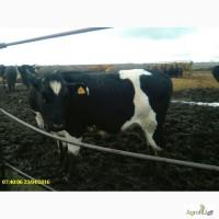 Коровы, телки, нетели племенного и товарного вида