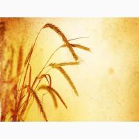 Продажа семян пшеницы озимой урожая 2019 года