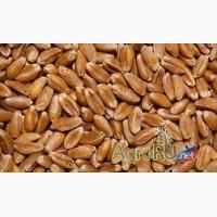 Пшеница фуражная 5 класса