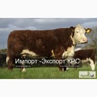 Продажа коров, Бычков, Телят, нетелей и телок породы герефод