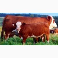 Продаем быков на мясо