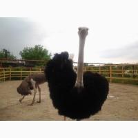 Продам Семья страусов (размножающееся «ТРИО» 1 самец+2 самки)