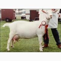 Куплю зааненских коз оптом 600 шт