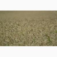Семена твердой пшеницы Диона, Оникс элита