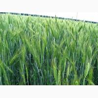 Продаем семена тритикале озимой урожая 2019 года