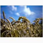 Реализуем пшеницу 5 класса