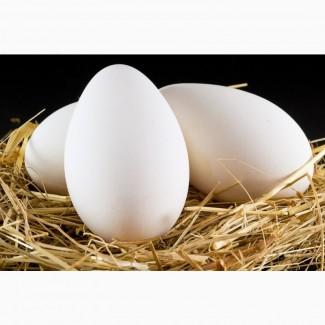 Инкубационное гусиное яйцо