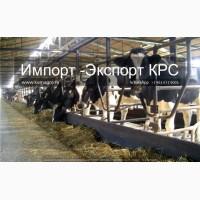 Продажа коров дойных, нетелей молочных пород в Новосибирске