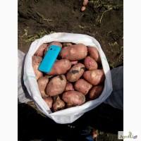 Картофель свежий 5+ оптом от производителя