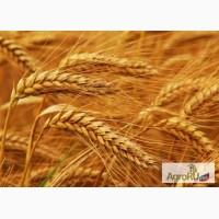 Семена озимой пшеницы Васса, Вершина