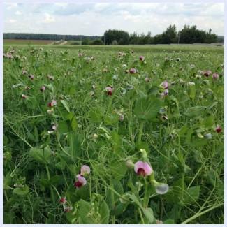 ООО НПП «Зарайские семена» продает семена гороха полевого оптом