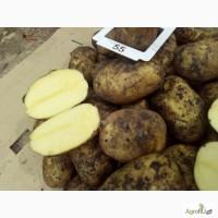 Оптовые поставки картофеля напрямую с кфх. 5
