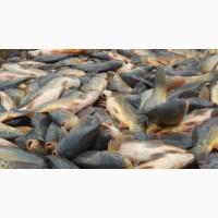 Живая рыба: карп, толстолобик, амур. Свежая рыба