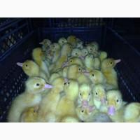 Обеспечиваем реализацию суточного молодняка и инкубационное яйцо с ведущих птицефабрик