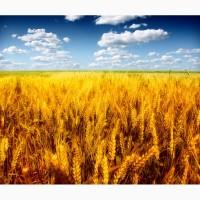 Предлагается к покупке продовольственная пшеница 4 класса