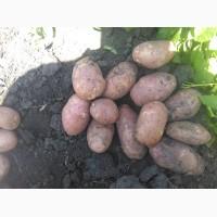 Молодой картофель оптом урожай 2018 от КФХ