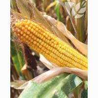 Семена гибридов кукурузы Ладожские. Ладожский 191 МВ