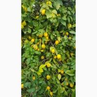 Лимоны, апельсины, мандарины_от производителя в Турции