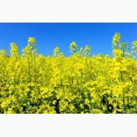 Продаем семена рапса озимого урожая 2021 года