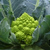 Семена капусты цветной Пунтоверде