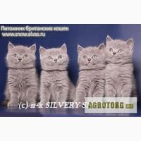 Британский котенок из питомника silvery snow