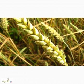 Семена озимой пшеницы сорт Уруп