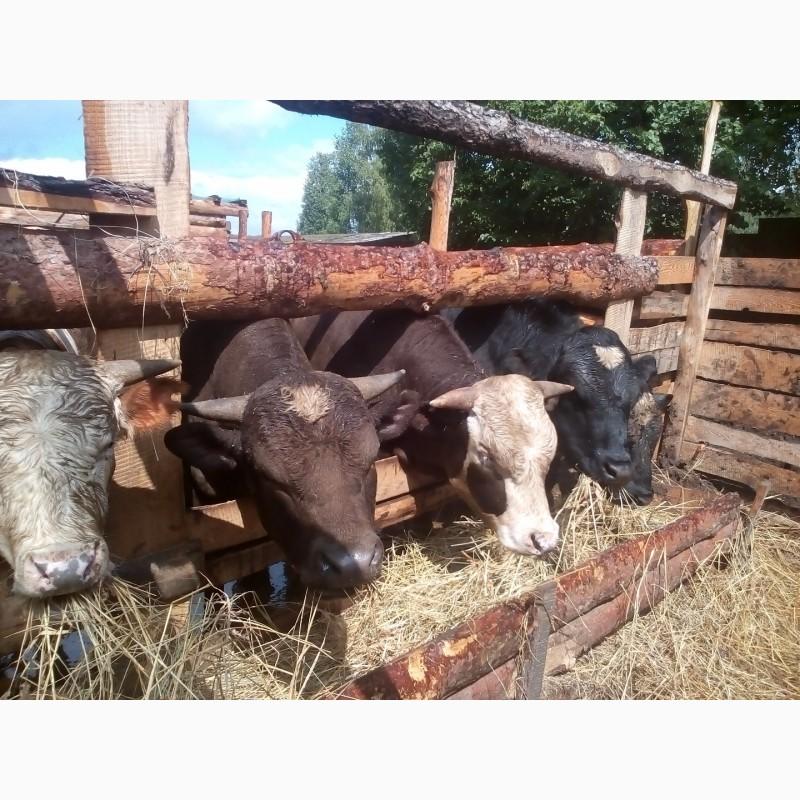 Продать быка живым весом в белгородской обл