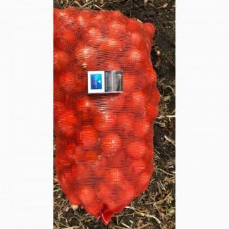 Лук репчатый нового урожая оптом 5+ от производителя