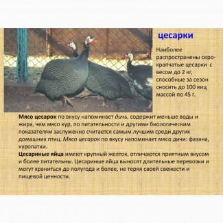 Цесарка серо-крапчатая - мясо, яйца на еду и инкубацию, птенцы