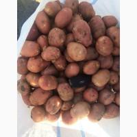 Картофель молодой оптом 3+ от производителя 6 р./кг