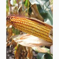 Семена гибридов кукурузы Ладожские. Ладожский 221 АМВ