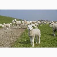 Продаю ягнят мясных пород живым весом. 160 руб/кг