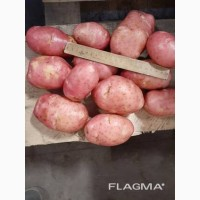 Красный картофель урожая 2020 г оптом от производителя
