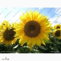 Гибриды семян подсолнечника Лимагрейн (LG)