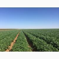 Картофель оптом Урожай 2019 года