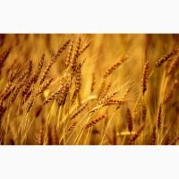 Продаем семена озимой пшеницы урожая 2019