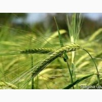 Семена озимой тритикале ЭС