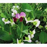 ООО НПП «Зарайские семена» закупает семена -горох полевой пелюшка от 20 тонн