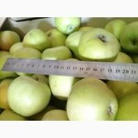 Продаем яблоки Симиренко крупные опт