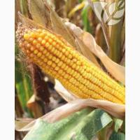 Семена гибридов кукурузы Ладожские. Ладожский 301 МВ