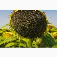 Семена подсолнечника гибрид Самурай F1