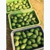 Продам авокадо Марокканские