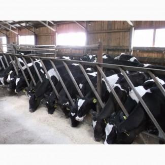 Продаем нетелей черно-пестрой породы