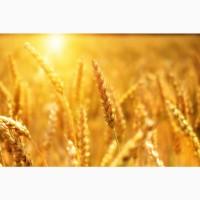 Продаю пшеницу 3 класса от производителя