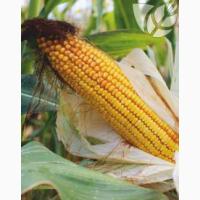 Семена гибридов кукурузы Ладожские. Ладожский 341 МВ