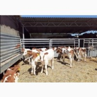 Продам телят бычки коров парода ангус сементал герефорд белоголовые галштин