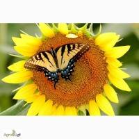 Гибриды семена подсолнечника Мегасан, Тунка, Голдсан, ЛГ 5550, ЛГ 5485 от (Limagrain)