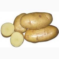 Продаем картофель сорта Янка, Гала