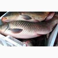 Доставка и продажа живой рыбы. Рыбхоз Корочанский