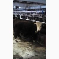 Продам бычков на откорм породы Герефорд